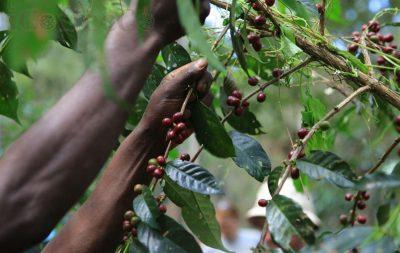 ethiopia djimmah icoffeeco